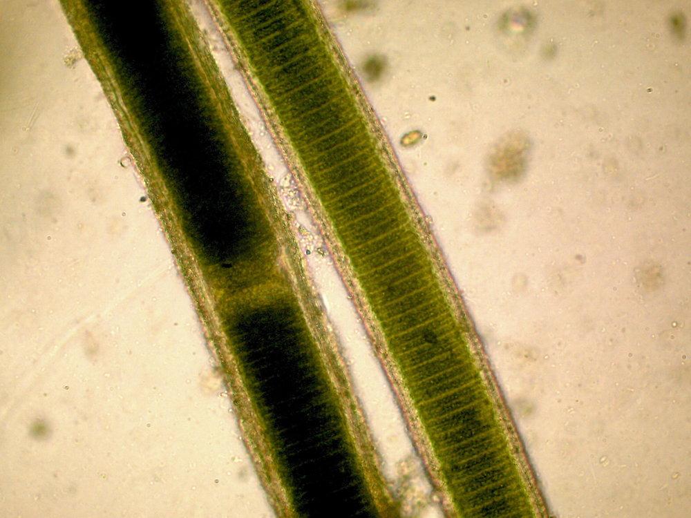 lyngbya-mucilage.JPG