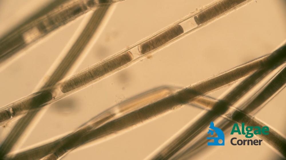 Lyngbya specimen after Captain XTR application (15-30 seconds)