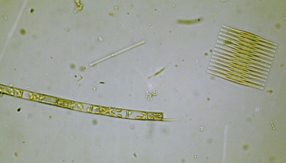 Phoslock good algae 2.JPG