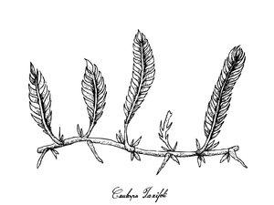 caulerpa-taxifolia.jpg