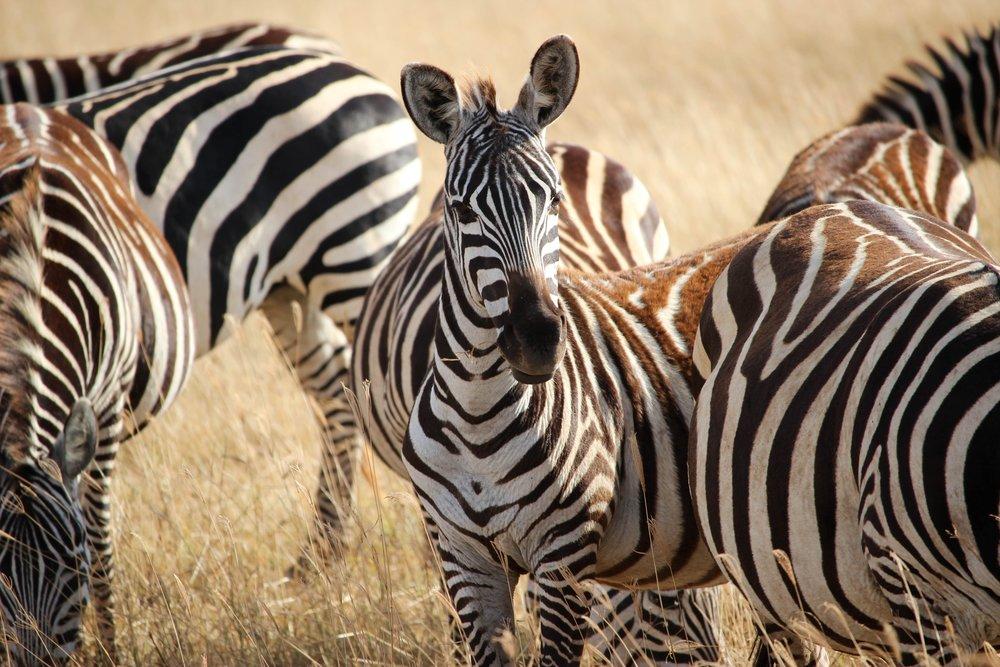 ngorongoro_zebras_unsplash.jpg