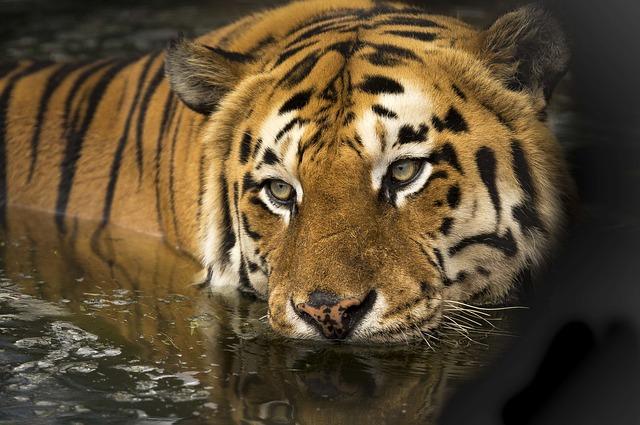 tiger-2791980_640.jpg