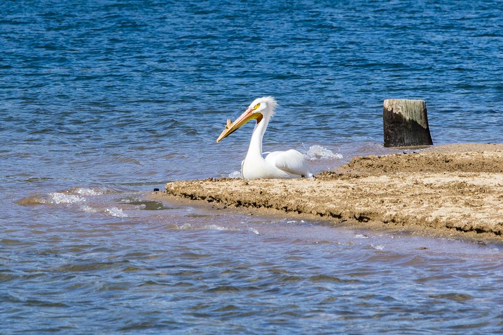 Pelican-2.jpg