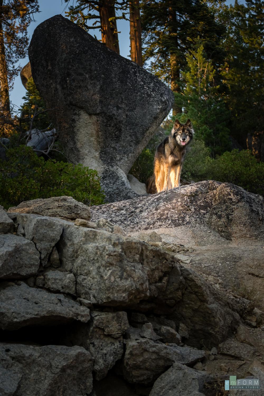 Ranger the WOLFdog-2.jpg
