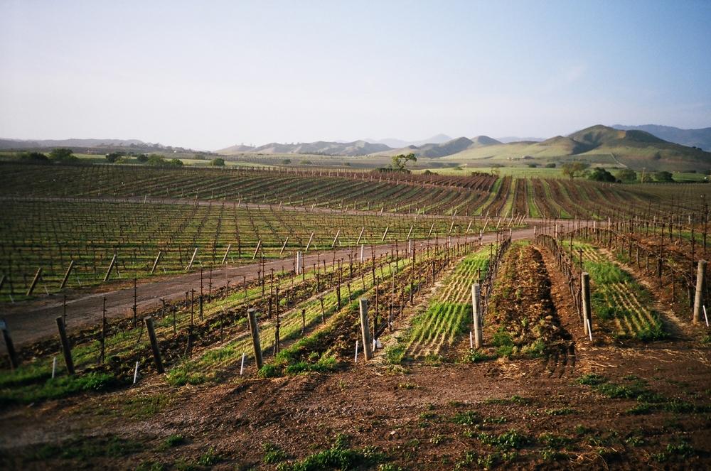 Vineyards in the Santa Ynez Valley north of Santa Barbara