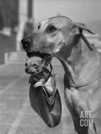 bettmann-great-dane-holding-chihuahua-in-purse_a-l-8668261-14258389.jpg