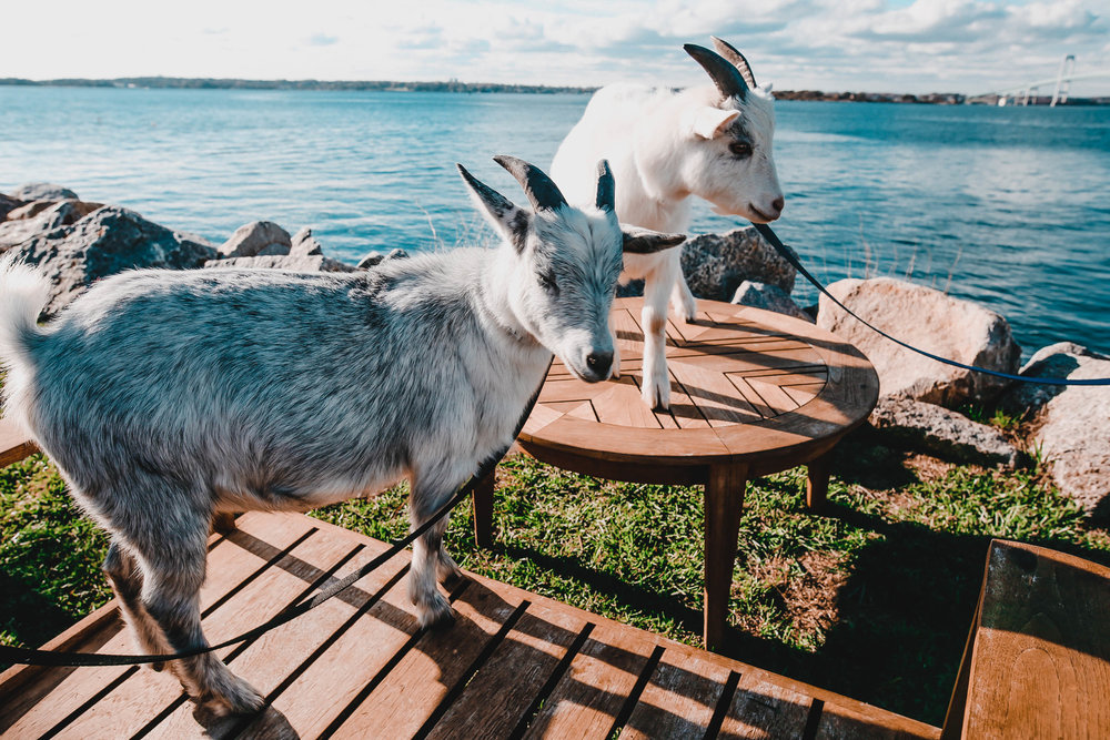 Newport-goats-143.jpg