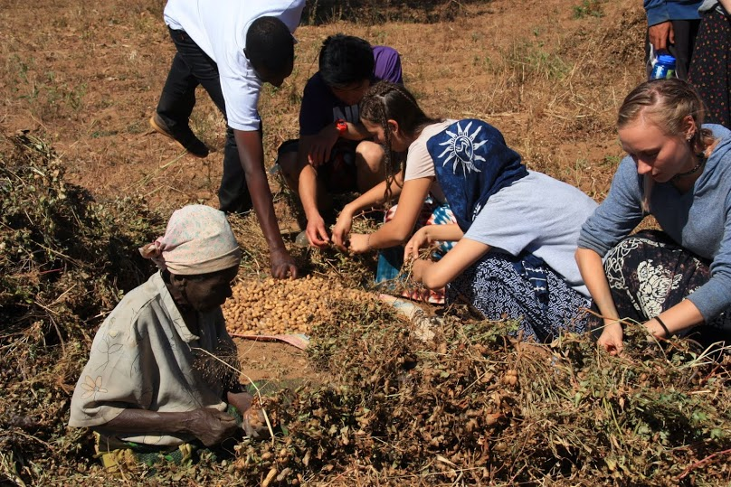 Harvesting-groundnuts.jpg