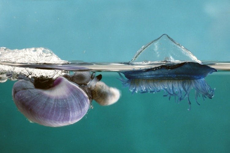"""Janthina snail with a common jellyfish called """"By the Wind Sailor."""" Photo credit: Peter Parks / Norbert Wu Productions"""