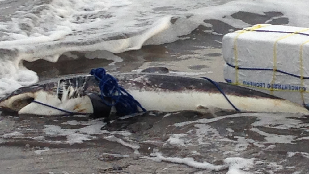 Sad image of a shark wrapped in line (Photo provided by Pearl)