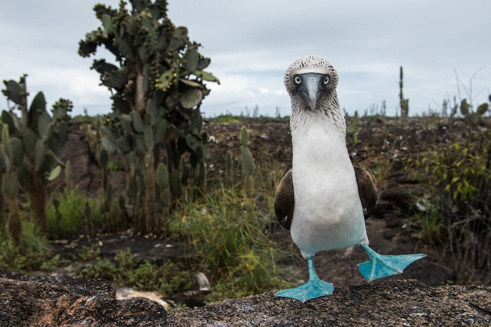 20170519_Blue-footed_Booby_355-web.jpg