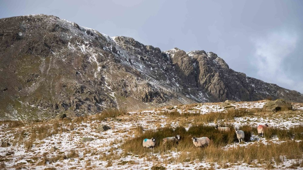 Sheep sheltering in the grass under Dow crag . The Lake District | Buy as a print