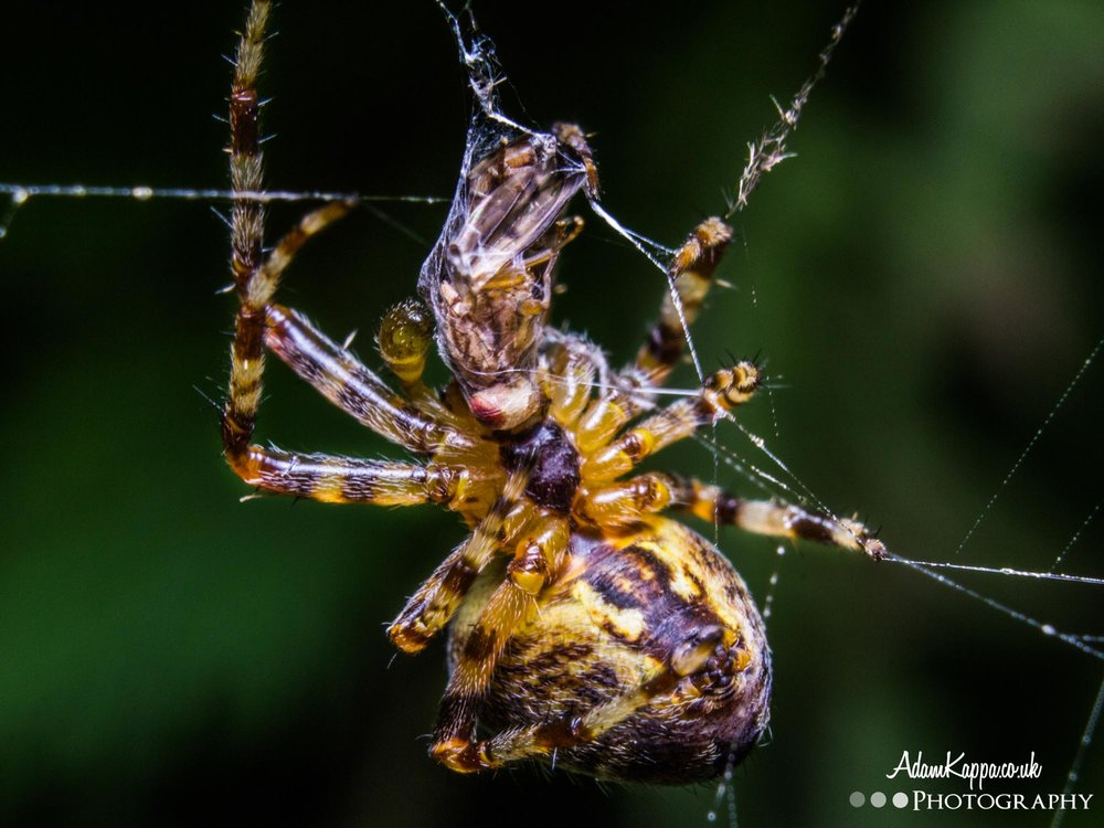 Spider wrapping up a fly - 1/200 sec at F20, ISO 400, 55mm