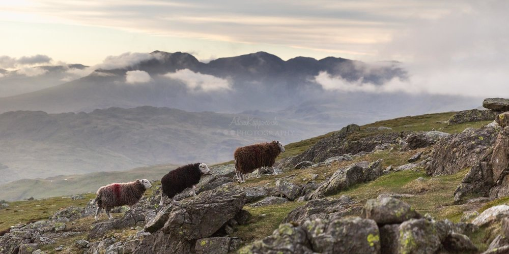 Herdwick sheep walking up Dow Crag