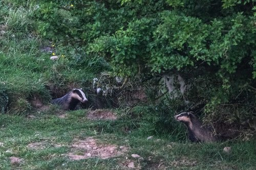Badgers Talking Between The Tree