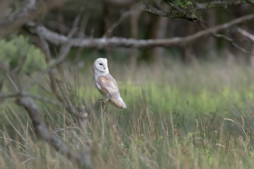 Barn Owl Looking Out Waiting To Hunt