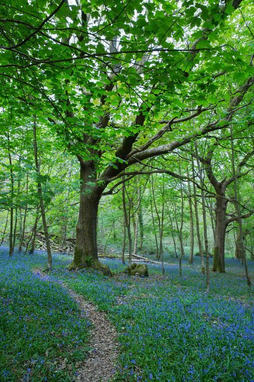 Bluebells In Sea Wood. Ulverston