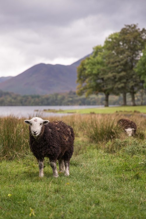 Herdwick Sheep On The Edge Of Derwentwater