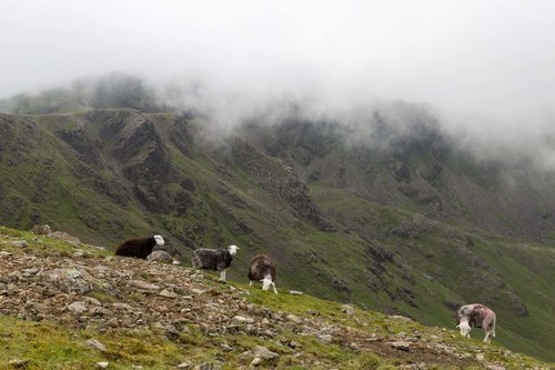 Herdwick Sheep Below The Clouds. Pillar, The Lake District