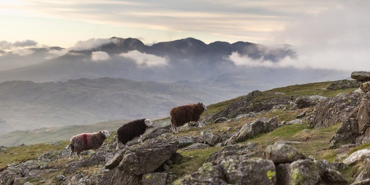 Herdwick Sheep Walking Up Dow Crag