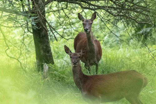 Red Deer Through The Bracken