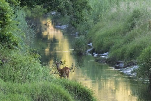 Roe Deer On The River Bank