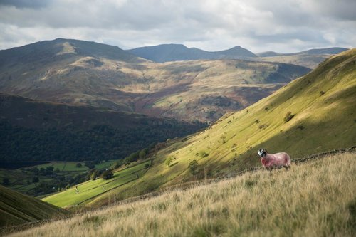 Rough Fell Sheep Above Hartsop