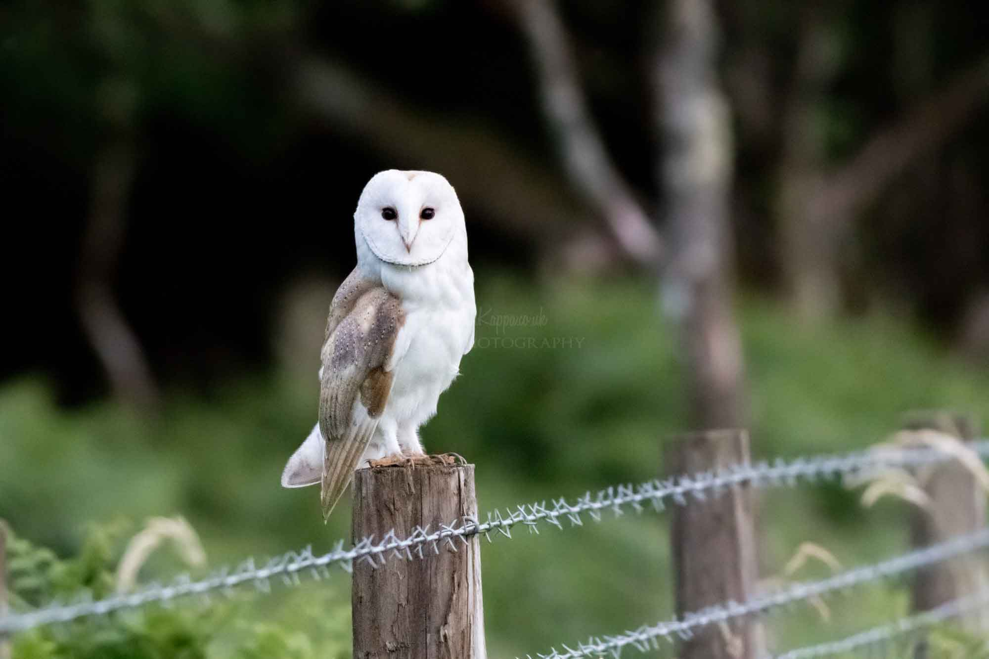 Barn Owl On The Post