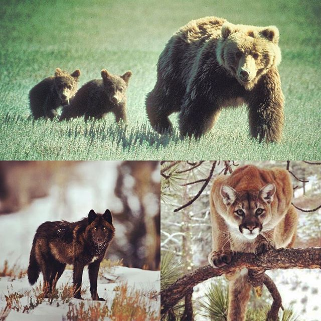 We are surrounded by some amazing creatures here in NW Montana.  These are just pictures...what do you do when you meet one in the wild?  Come to the Distillery this Saturday at 4pm to learn more about living with Wildlife from FWP Attack Investigator Brian Sommers!