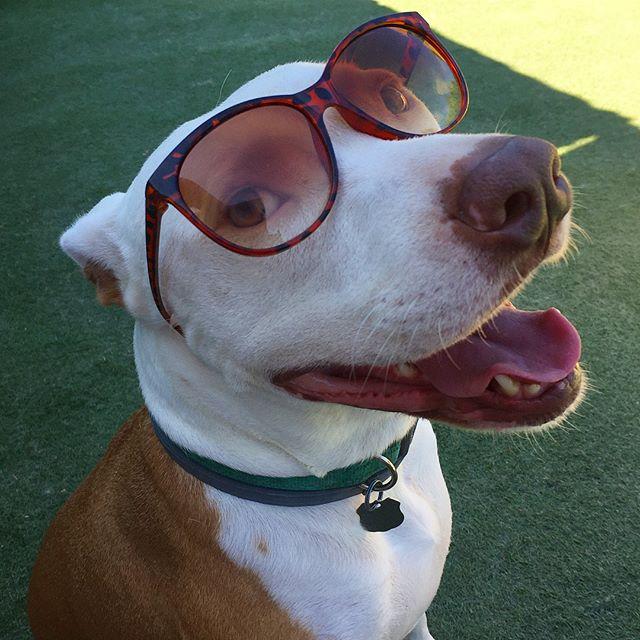 Abe the babe! 😎 . . . . . #dog #dogs #dogsofig #dogsofinsta #dogsoftheday #dogoftheday #dogstagram #pit #pitbull #pitbullsofinstagram #pitsofinstagram #sunglasses #stud #summer #summerlovin #dogdaycare