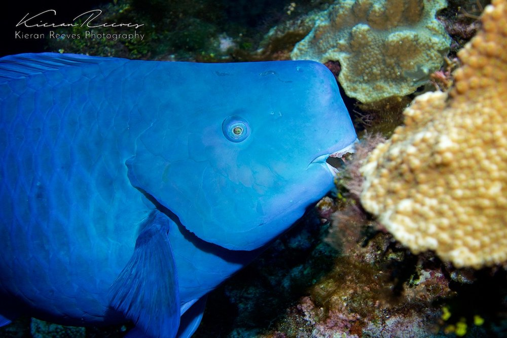 Blue Parrotfish {Photo Credit: Kieran Reeves Photography}