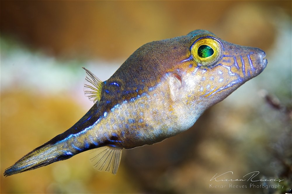 Sharp-nose puffer fish {Photo Credit: Kieran Reeves Photography}