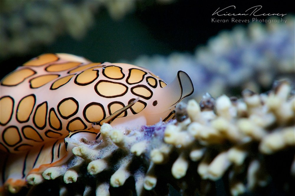 Flamingo Tongue {Photo Credit: Kieran Reeves Photography}