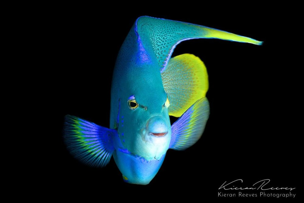 """Bermuda"" Blue Angelfish"