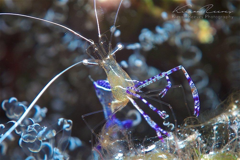kieran reeves photography dive bermuda pederson shrimp
