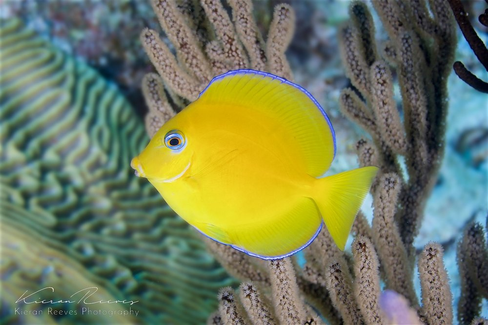 A juvenile damselfish