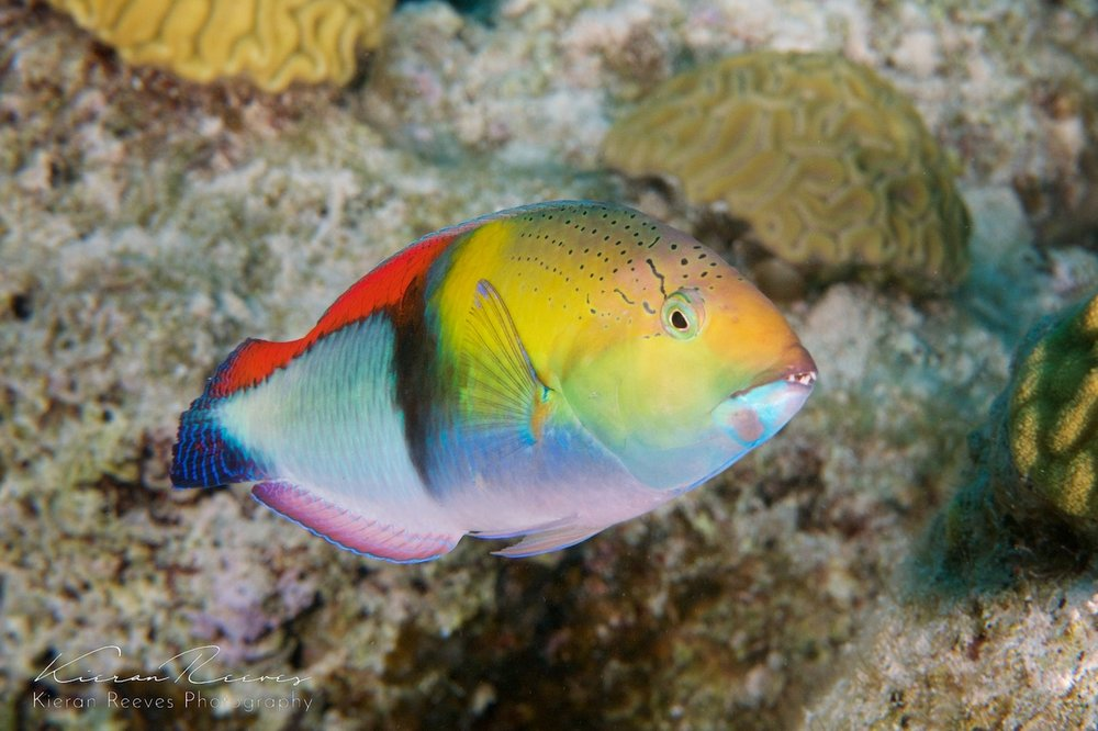 Yellowheaded Wrasse