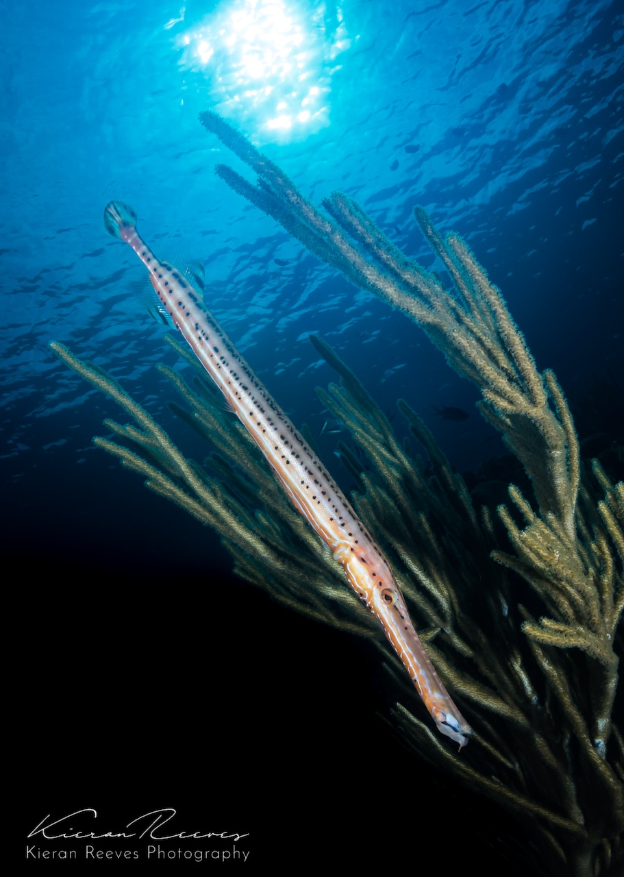 Trumpetfish a fun find on Bermuda's reef  {Photo Credit: Kieran Reeves Photography}