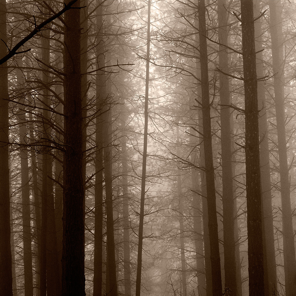 Redwoods in Fog, Camino