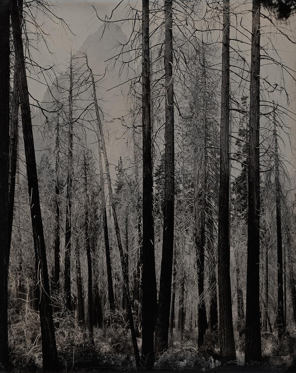 Burnt Trees, Yosemite