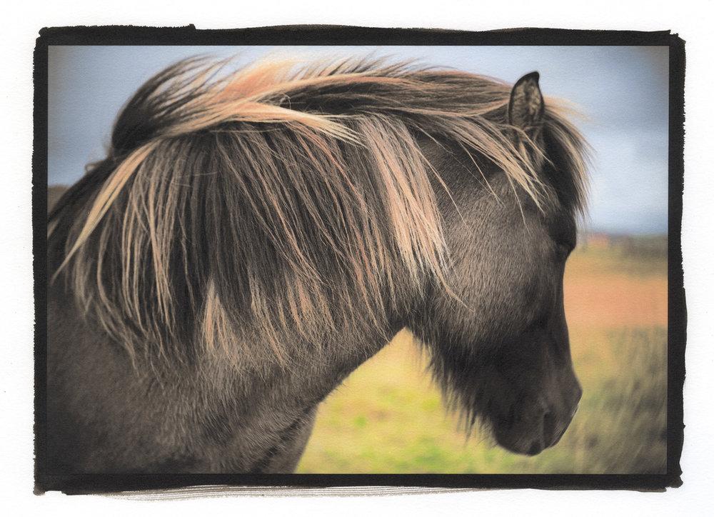 iceland horse.jpg