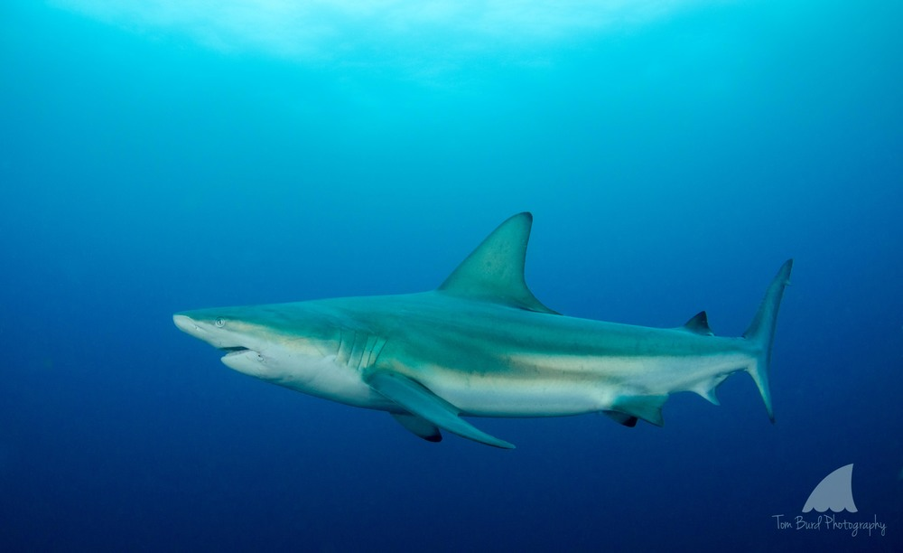 A large blacktip shark coming in close to check out us aliens.