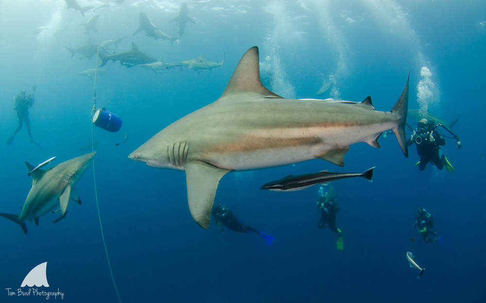"""A """"behind the lens"""" view of a baited shark dive on Aliwal Shoal, South Africa."""