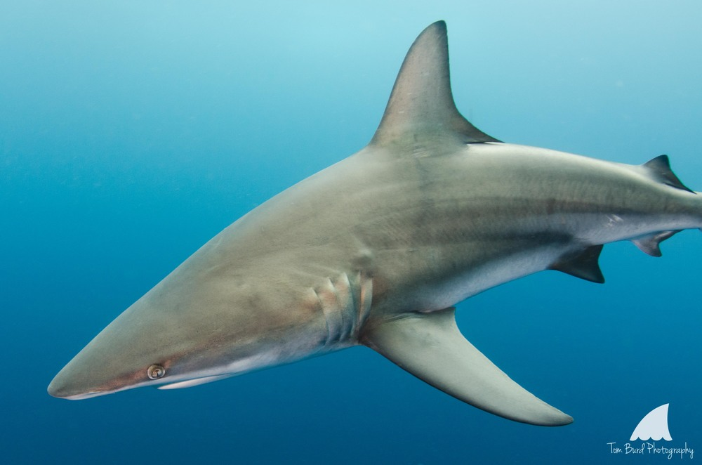 Close encounters like this are a real thrill for divers, allowing you to see the sharks true beauty.