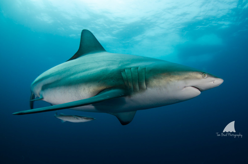 Tom Burd Photography Blacktip Shark