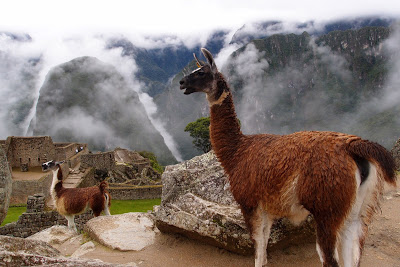 The locals: llamas