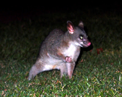 "Hi there! - Possum or the ""catkangaroo"" as one guy named it"