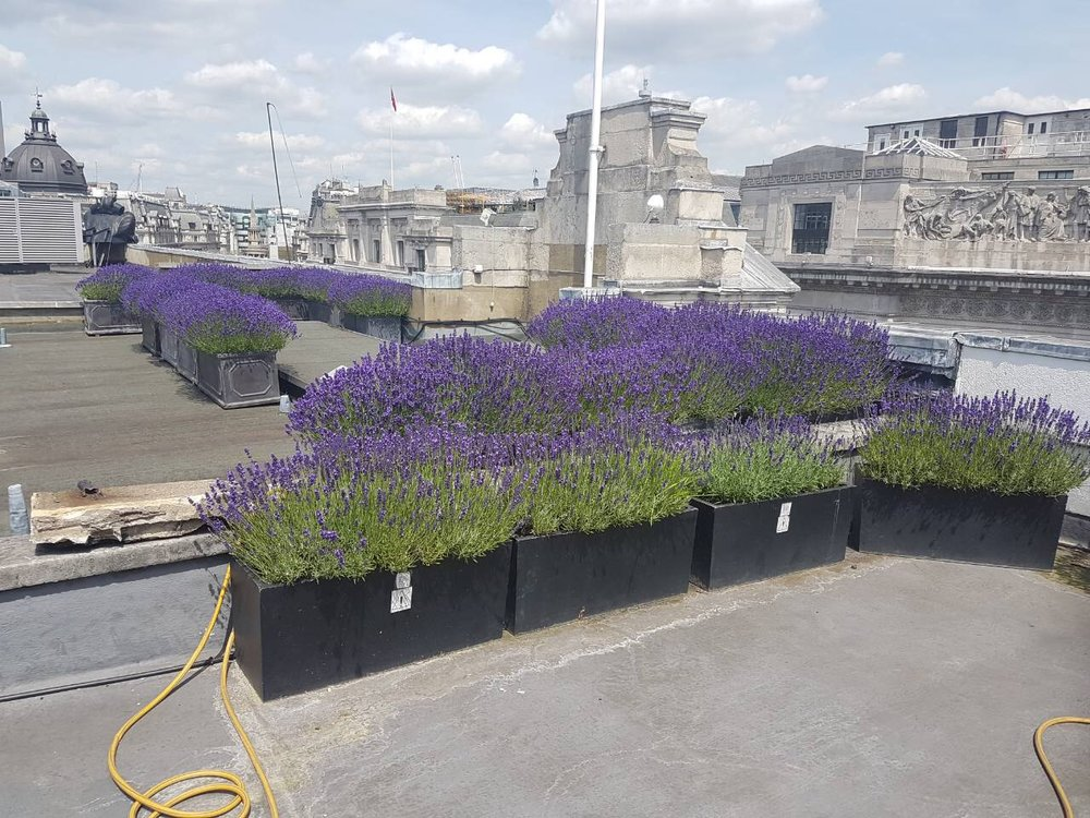 Rooftop lavander garden on Regent Street