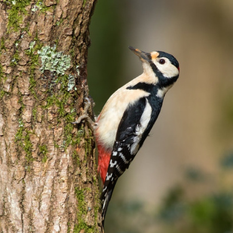 Woodpecker photographed in Kilkenny by P. Kavanagh