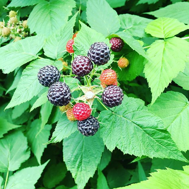 Check your raspberries!! #itstime #psa #minnesota